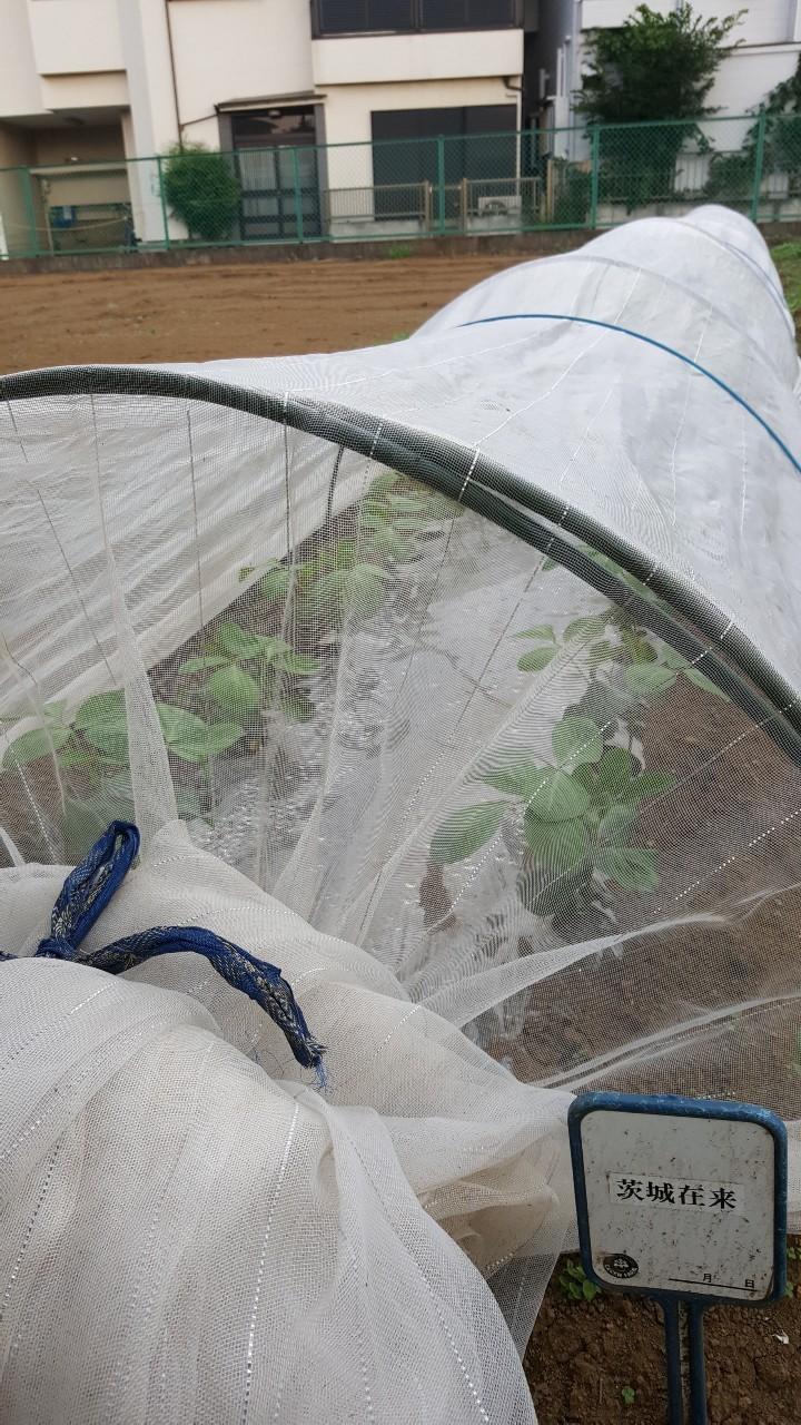 在来大豆の研究栽培:12日目